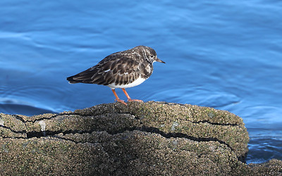 Turnstone at Mevagissey