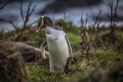 Hoi Ho - Yellow Eye Penguin