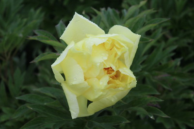 Paeonia 'Sequestered Sunshine' Bloom