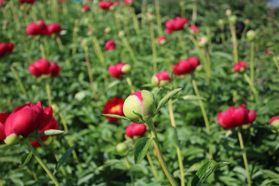 Paeonia 'Blaze' Buds and Flowers