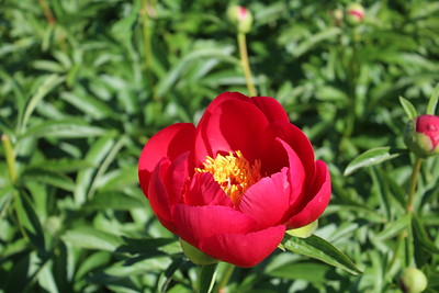 Paeonia 'Blaze' Flower (2)