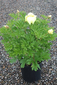 Paeonia 'Sequestered Sunshine' #3