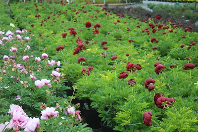 Paeonia Flowering Mass