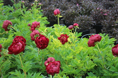 Paeonia 'Buckeye Belle' Flowering Group (2)