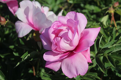 Paeonia 'First Arrival' Blooms (2)