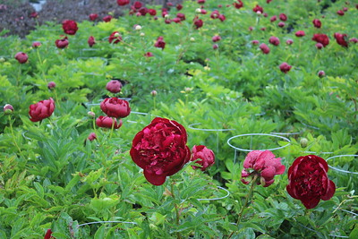 Paeonia 'Buckeye Belle' Flowering Mass
