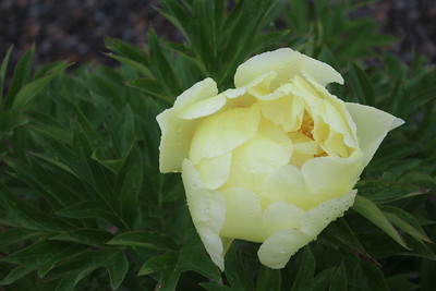 Paeonia 'Sequestered Sunshine' Flower