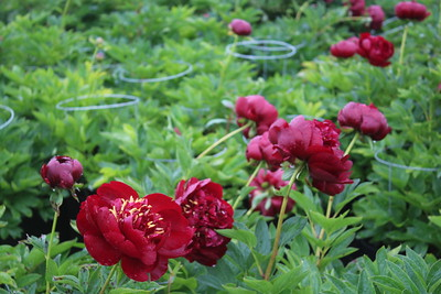 Paeonia 'Buckeye Belle' Flowering Group