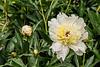 Madame Guyot peony (Bed 07), P. lactiflora
