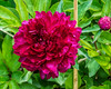 Philippe Rivoire peony (Bed 8)
