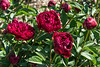 Bed 09 Adolphe Rousseau (3cd)<br /> <br /> D147-2017<br /> <br /> Herbaceous peony beds<br /> Peony Garden at Nichols Arboretum, Ann Arbor<br /> Taken May 27, 2017
