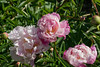 Lady Emily peony - comparison of stages of bloom maturity