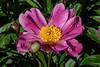 Bed 13 L'Etincelante (row 5 columns cd)<br /> D151-2014<br /> <br /> Peony Garden at Nichols Arboretum<br /> May 31, 2014