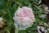 Loveliness Peony  (Bed 16-2ef)