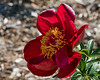 Chocolate Soldier peony, Officinalis x albiflora