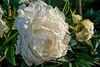 Bed 21 Sarah K. Thurlow (1ab)<br /> D157-2016<br /> <br /> Peony Garden at Nichols Arboretum, Ann Arbor<br /> Taken June 6, 2016