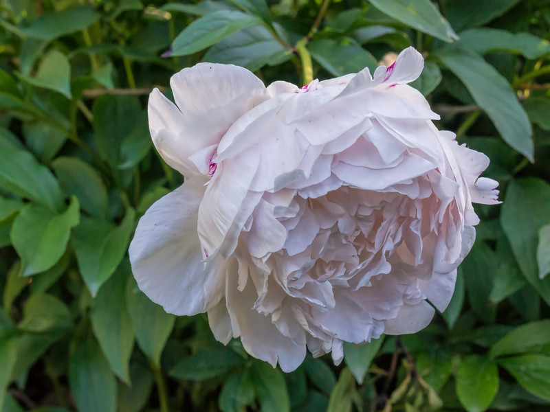 Peony Myrtle Gentry (Bed 21)