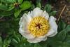 Peony Requiem (Bed 21), Albiflora x macrophylla