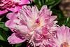 Peony Philomele - Pink Anemone form