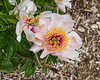 Frances peony (Bed 25)