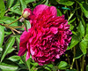 Charles McKellip peony (seen in Bed 17; now in Bed 10)