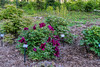 Laurel Ridge bed, Japanese tree peonies, schematic