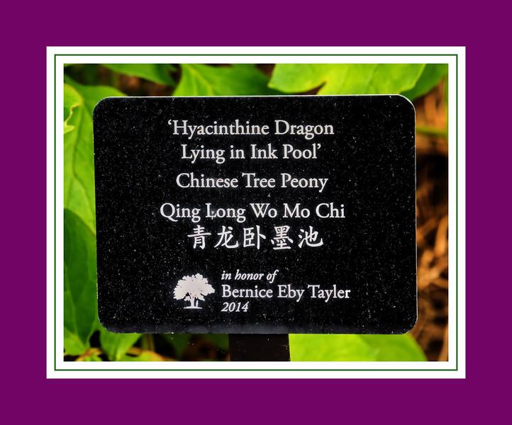 Plant label:  Qing Long Wo Mo Chi, 'Hyacinthine Dragon Lying in Ink Pool' Chinese tree peony