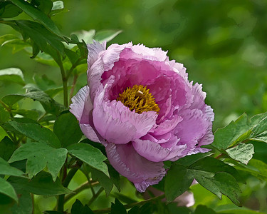 E12. Peonies Creatively Altered