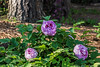 Purple #X, Tree peony, ID in question