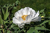 "White #1 - Once labeled ""Kissed Peach"", Paeonia suffruticosa"