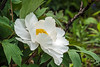 Unidentified tree peony, Anonymous  Bz, White #1