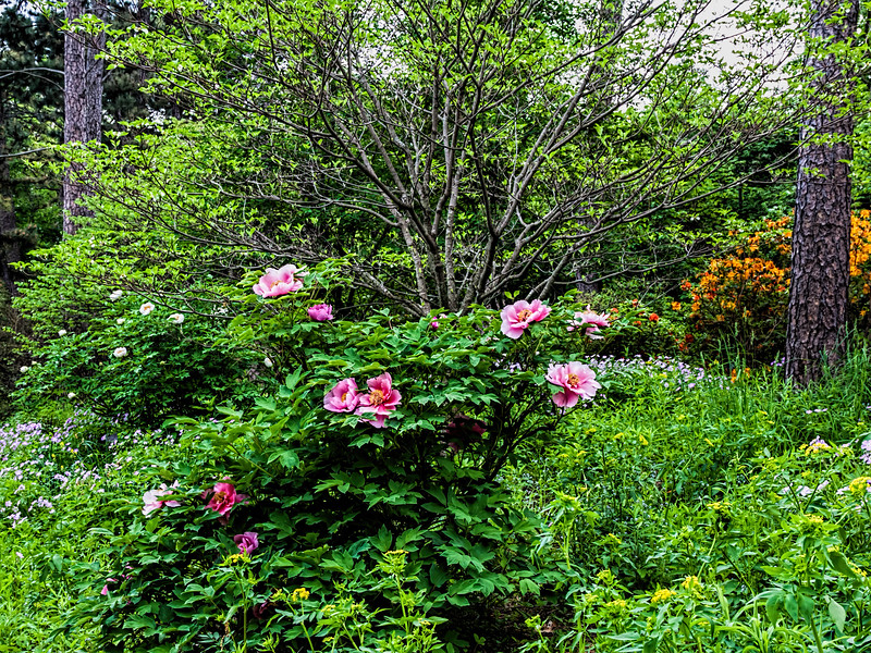 Snow Kissed Peach, Chinese tree peony