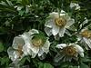 Unidentified white woody peony or tree peony