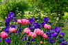 Peony 'Coral Charm' growing with pure purple bearded iris