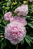Pale pink peony at the Steiner House