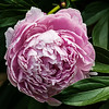 Pale pink or lavender peony at the Steiner House