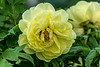 Tree peony, Anonymous Devonshire yellow