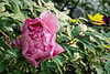 Unidentified pink tree peony (curbside)
