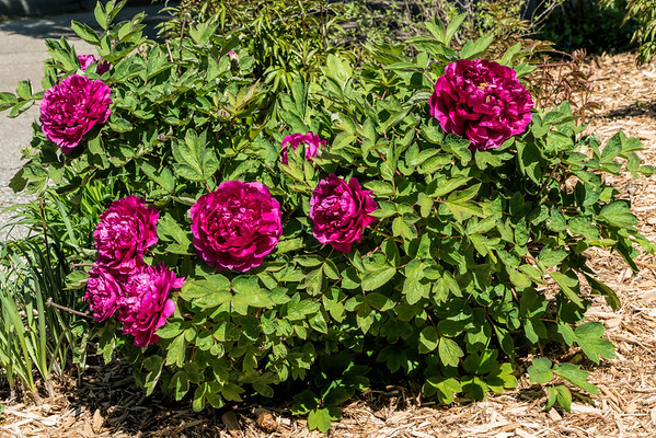 D2 Tree peonies in public places