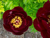 Anonymous peony, red single?  Possibly Arcturus