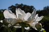 Louise Marx, P. lactiflora (Matthaei Botanical Gardens)