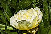 Itoh or intersectional hybrid peony