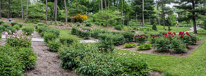 D149-2016<br /> <br /> Peony Garden at Nichols Arboretum, Ann Arbor<br /> May 29, 2016 (early am)