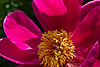 Bloom detail, with pollen.  Anonymous peony