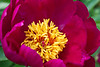 Bloom detail, anonymous peony