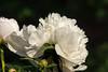 Adelaide E. Hollis peony (Bed 6), P. lactiflora