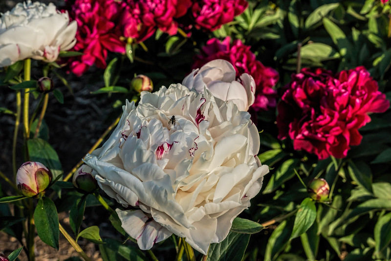 Ave Maria peony (Bed 09), P. lactiflora