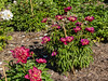 Red Charm peony (Bed 3), P. lactiflora - bed view