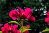 Crusader hybrid peony (Bed 04), Officinalis x albiflora