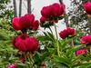 Crusader peony (Bed 04), Officinalis x albiflora